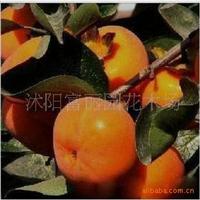 柿树新品种-照天红 红柿嫁接苗 (柿子苗/柿子树苗)