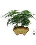 *文竹*净化空气植物 点缀生活5元1棵建议一盘购买3-5株文竹