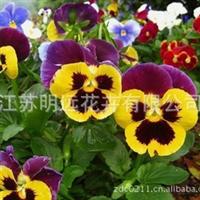 供应花卉种子 勿三色堇种子 观花植物种子 草花种子