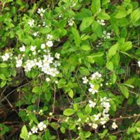 湖南苗木湖南花木供应红白花金边六月雪20公分以上