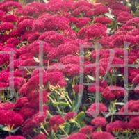 长城苗木公司供八宝景天,河北杨,香樟,东青等绿化苗木