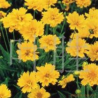 长城苗木公司供大花金鸡菊,荷花,水仙花,睡莲等苗木