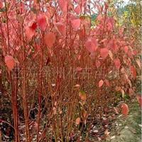 江苏红瑞木、龙柏、月季花