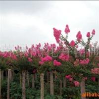 供应3-8公分紫薇、垂柳、紫薇种子等乔木树种
