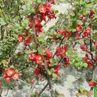 出售贴梗海棠、西府海棠、垂丝海棠等绿化苗木
