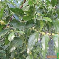供应园林果树枣树、白果、板栗等树种