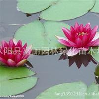 批�l水生植物;睡�,荷花,水�P子,美人蕉,水浮�,水葫�J