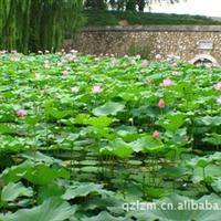 供应各种优质水生植物 睡莲价格 荷花苗价格
