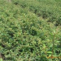 供应绿化苗木灌木,绿化小苗  ,草坪,工程苗(价优)