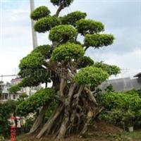 供应榕树5-10米高度,景观绿化用树桩