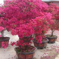 供应四季红花三角梅盆景,盆栽