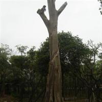 供应菩提树绿化大树
