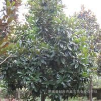 供应绿化苗木多种广玉兰苗木