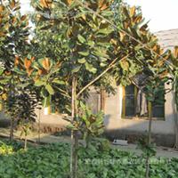 厂家直销园林绿化用广玉兰苗木