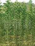 供应绿化苗木——大叶女贞 价格面议