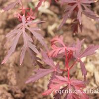 供应大量出售日本红枫小苗 国内红枫树