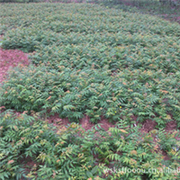 低价出售百万栾树苗,数量多,价格低,品质好