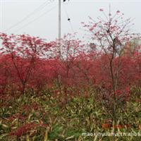 出售红枫,2-6公分红枫,红枫小苗,红枫种子,青枫小苗