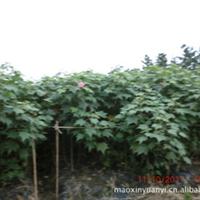 大量出售绿化苗木,出售芙蓉花,木芙蓉一年生条子,种苗