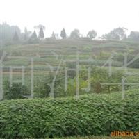 低价出售大批量香椿苗、绿化、占地苗,量大价低。