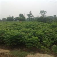 出售米径1-5公分的栾树,欢迎订购