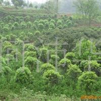 供应各种果树苗木、杜仲、黄栀子、花椒苗
