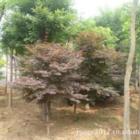 产地直销多种规格红枫,日本红枫