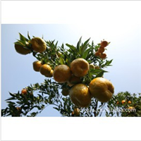 l供应高品质、高质量的  柑橘
