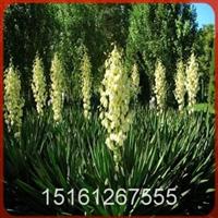 【低价供应】特价100万棵剑麻(丝兰、凤尾兰)等苗木-花木