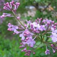 工程园林 绿化 苗木 【紫色丁香花】
