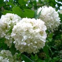 �G化花卉苗木灌木�大花木�C球