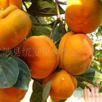 大量供应柿树、桃树、梨树。
