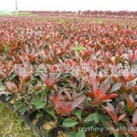 红叶石楠袋苗、杯钵苗、营养袋装苗