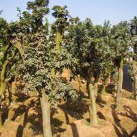 承接各类绿化工程常绿乔木柚子树