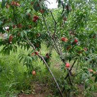 供应泰安优质3公分以上桃树|桃树苗
