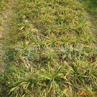 大量供应绿化植物  萱草 金娃娃 产地安吉