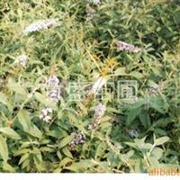 供应绿化苗木  植物 千屈菜 产地安吉 质量保证