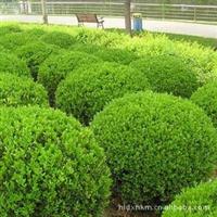 长期大量生产销售优质绿化苗木