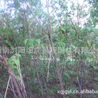 供应湖南优质腊梅2-3米高,3--8个头