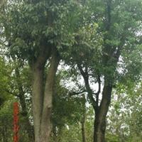 供应朴树..