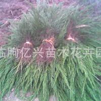 供应龙柏  工程绿化 苗木 四季长青 欢迎采购