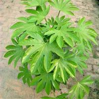 【自产自销】大量现货低价供应乔木工程绿化苗木精品  八角金盘