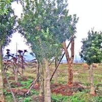 【绿化工程】供应行道树工程苗绿化苗 杨梅