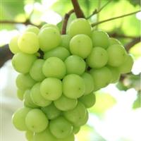 供应优质 新品种 阳光玫瑰葡萄苗 果树种苗