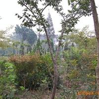长年供应绿化苗木,腊梅,蜀桧,龙柏等花木