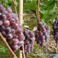 供应红提葡萄树苗|生产供应商|山东葡萄苗葡萄苗|红提葡萄苗