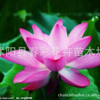 【基地直销】【批发特惠】供应优质水生花卉-荷花 精品荷花/种藕