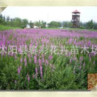 【基地直销】特价千屈菜水枝锦,对叶莲,花期超长