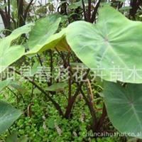 春彩花卉销售地被水生植物紫芋,水芋,野芋,东南芋,老虎广菜