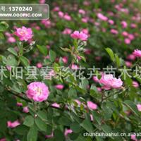苗圃直�N。大木槿,重瓣木槿,粉花木槿,�伟昴鹃�
